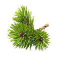 Pine tree branch isolated on white Royalty Free Stock Images