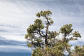 Pine tree and branches under feathery stratus clouds blue sky Stock Photography