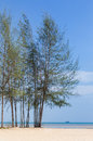 Pine tree (Casuarina equisetifolia ) on the beach Royalty Free Stock Photo