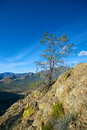 Pine tree on cliff single the side of a in sequoia national forest Stock Photography