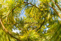 Pine tree close-up of needles and branches Royalty Free Stock Photo