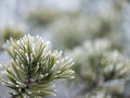 Pine tree closeup with frost Royalty Free Stock Photo