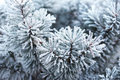 Pine tree covered with frost Royalty Free Stock Photo