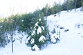 A pine tree covered by snow on the slopes of patnitop in peak winters Royalty Free Stock Image