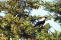 Pine tree and crow Stock Photo