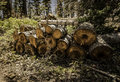 Pine tree cutting into small log Royalty Free Stock Photo