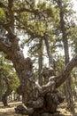 Pine tree in cyprus, europe Royalty Free Stock Photo