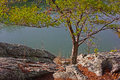 Pine tree at the edge of rocky river bank. Royalty Free Stock Photo