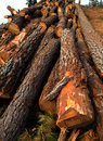 Pine tree felled for timber industry in Tenerife Stock Images