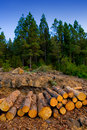Pine tree felled for timber industry in Tenerife Royalty Free Stock Photo