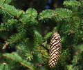 Pine tree Fir branches with cones Royalty Free Stock Photo
