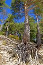 Pine tree with floating roots