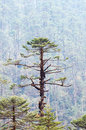 Pine Tree forest Stock Image