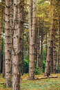 Pine tree forest in autumn october afternoon Royalty Free Stock Photo