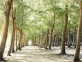 Pine tree forest on the beach Royalty Free Stock Photo