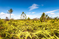 Pine tree forest ferns blue sky phukradung national park thailand Stock Photo