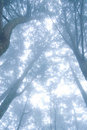 Pine tree forest with fog. Royalty Free Stock Photography
