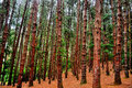 Pine tree forest Royalty Free Stock Photo