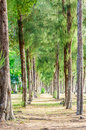 Pine tree forest in thailand and resort asia Royalty Free Stock Photo