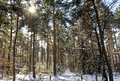 Pine tree forest winter sun shining treetops Stock Photography