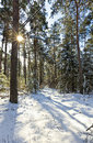 Pine tree forest winter sun shining treetops Royalty Free Stock Image
