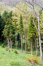 Pine Tree Forrest in the Mountains. Royalty Free Stock Photo