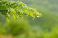 pine tree get wet. Royalty Free Stock Photo