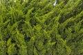 Pine tree green in the garden Royalty Free Stock Photos