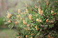 Pine tree with green pine branches. Pine tree needle leaves. Closeup. Royalty Free Stock Photo