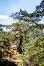 Pine tree grown on a rock in a virgin forest Royalty Free Stock Photo