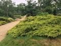 Pine tree ,ilford,London,nature, Royalty Free Stock Photo
