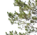 Pine tree isolate on white background Royalty Free Stock Photography