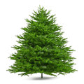 Pine tree isolated. Abies firma Royalty Free Stock Photo