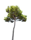 Pine tree isolated Royalty Free Stock Photo
