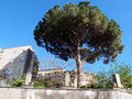 Pine tree large in an house garden italy Royalty Free Stock Images