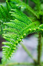 Pine tree leaves close up with details Stock Photos