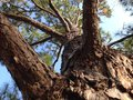 Pine tree lone in the forest Royalty Free Stock Photo