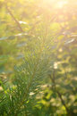 Pine-tree needle branch in sunset lights Royalty Free Stock Image