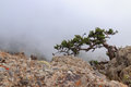 Pine tree one in rocks of mount southern demerdji in crimea Royalty Free Stock Photo