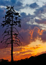 Pine tree over colorful sky Stock Images