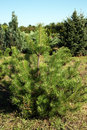 Pine tree production in the nursery Royalty Free Stock Photo