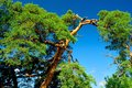 Pine tree in a queer form on a sunny day against the background of blue sky Royalty Free Stock Photos