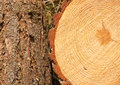 Pine tree rings and trunk annual on freshly cut with bark border good background for the timber industry Stock Image