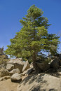 Pine Tree San Jacinto Royalty Free Stock Photography