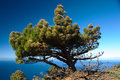 Pine tree at sea shore Royalty Free Stock Images