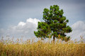 Pine tree single and a golden wild spikes vegetation under cloudy sky Royalty Free Stock Photography