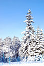 Pine tree in snow Royalty Free Stock Photo