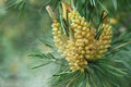 Pine tree with the spores in the spring Royalty Free Stock Image