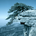 Pine tree stand towering on the cliff Stock Images