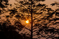 Pine tree in the sunrise Stock Photography